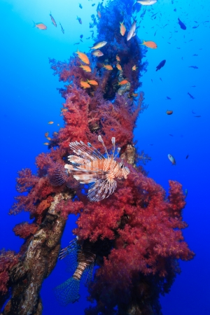 Lionfish swims around a manmade chain encrusted with vivid red and pink soft corals with a blue water background Stock Photo - 16791284
