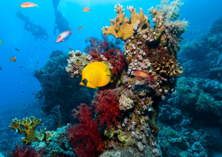 Masked Butterflyfish swim around a coral pinnacle while SCUBA divers swim in the background photo