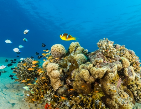 Clownfish and other tropical fish swim around a shallow water coral pinnacle in the Red Sea