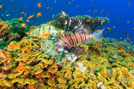 Lionfish and tropical fish swarm around a large green salad coral on a tropical reef in the Red Sea