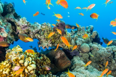 anthias fish: A grouper looks out from a hole in a coral pinnacle surrounded by tropical fish