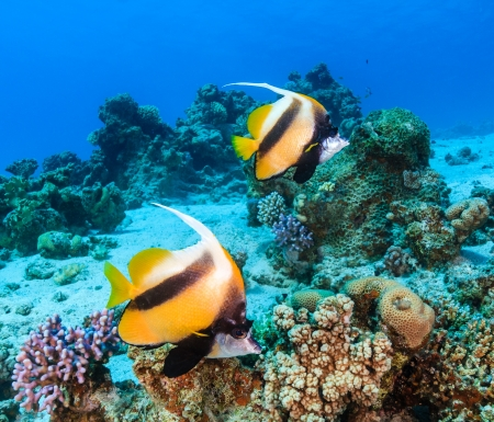A pair of Bannerfish swim over a shallow sandy area on a tropical coral reef