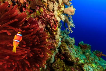 Clownfish swimming arounts its vivid ren anemone on a coral reef outer wall in deep water
