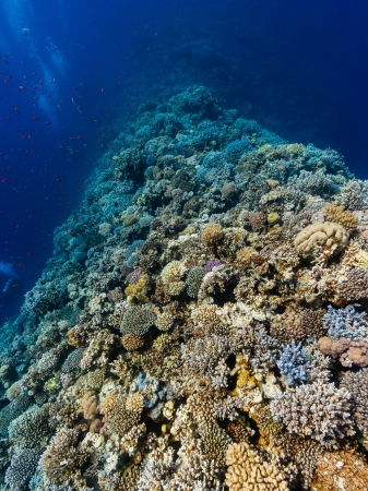 Distant SCUBA divers swim along a hard coral ridge in deep water in the Egyptian Red Sea Stock Photo - 16848511