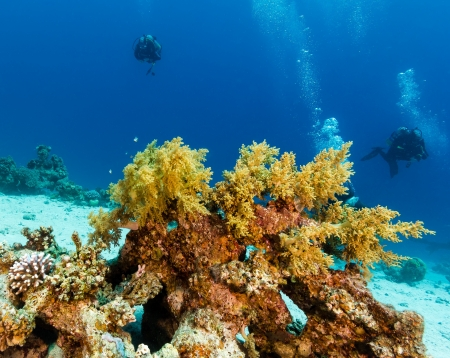 sharm el sheikh: SCUBA divers swimming next to a soft coral on a tropical coral reef