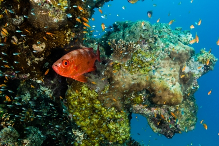 A Bigeye and other small tropical fish swim around a coral pinnacle photo