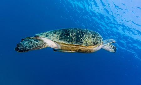 Green turtle with Remora swimming in clear blue water photo
