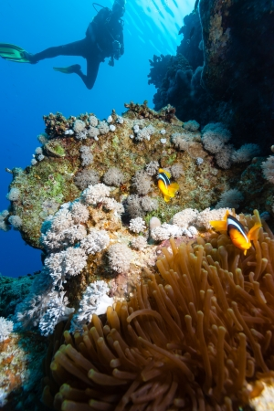 A SCUBA diver looks at a pair of clownfish on a coral reef Stock Photo - 16848488