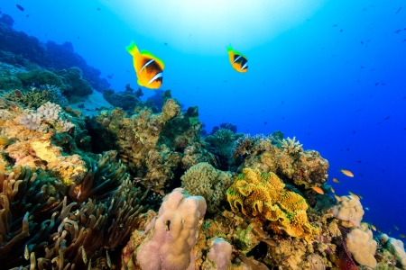 A pair of clownfish swim over a coral reef