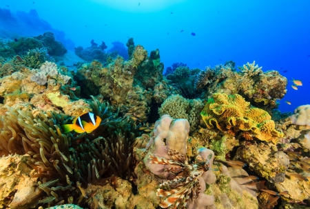 Clownfish and other reef fish on a tropical reef photo