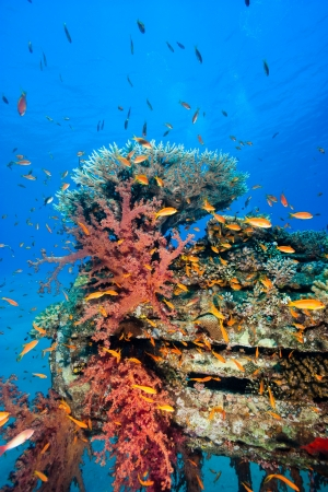 Tropical fish, hard and soft corals on a manmade underwater pipeline photo