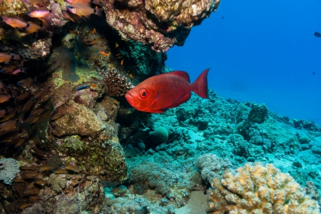Bright red Bigeye fish under a coral pinnacle photo