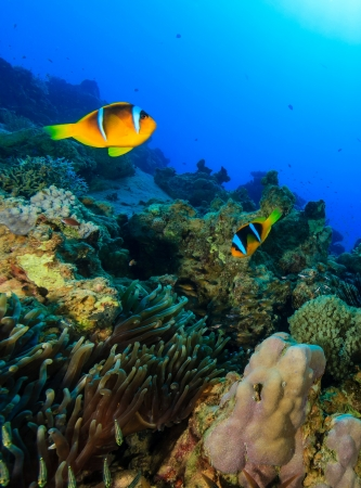 A pair of Clownfish swim over a colorful tropical coral reef photo