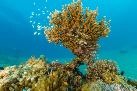Lionfish and tropical fish around a small table coral Stock Photo - 16881894