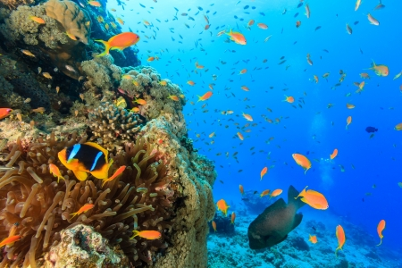 Clownfish and other tropical fish on a coral pinnacle photo