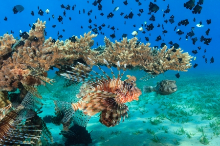 acropora: Lionfish and other tropical fish around an Acropora table coral