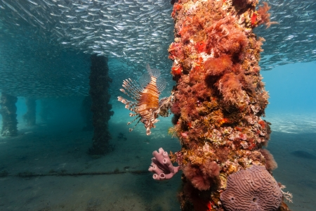 pterois volitans: Lionfish and bait fish underneath a coral encrusted manmade jetty Stock Photo