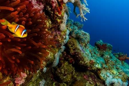 Clownfish and a vivid red anemone on a vertical reef wall photo