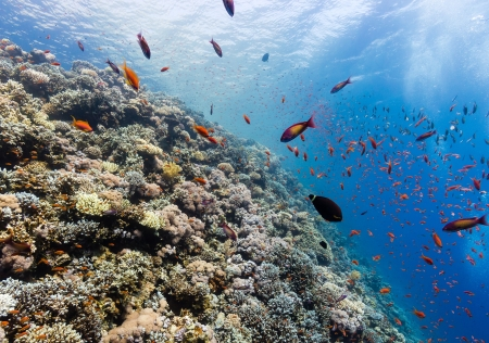 soft coral: SCUBA divers explore a hard coral ridge in the Red Sea