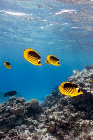 bannerfish: A shoal of masked butterfly fish swim along a shallow coral lagoon Stock Photo