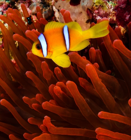 amphiprion bicinctus: Red sea Clownfish  Anemonefish  next to a vivid red anemone on a coral reef Stock Photo