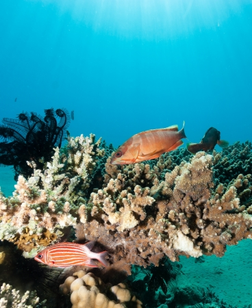 epinephelus: Grouper and other fish swim around a table coral Stock Photo