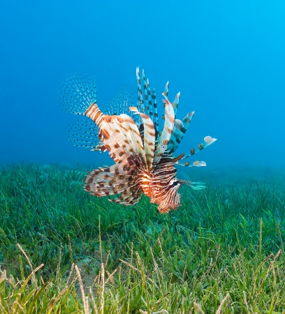 turkeyfish: Lionfish swimming over seagrass hunting for food