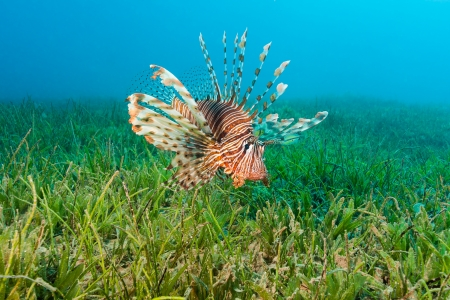 pterois volitans: Lionfish spreads out its spines as it swims over seagrass