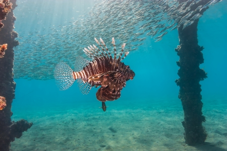 hardcoral: Lionfish swims underneath a manmade jetty and shoal of baitfish