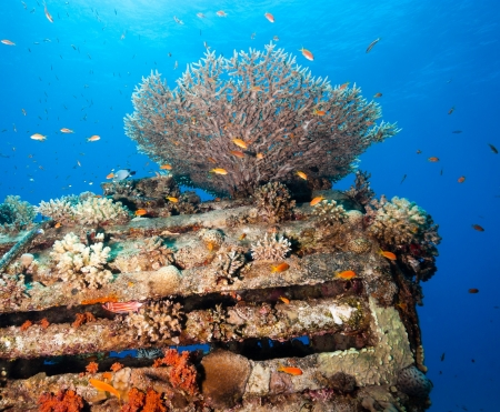 Tropical fish and hard corals colonise the remains of an old underwater pipeline