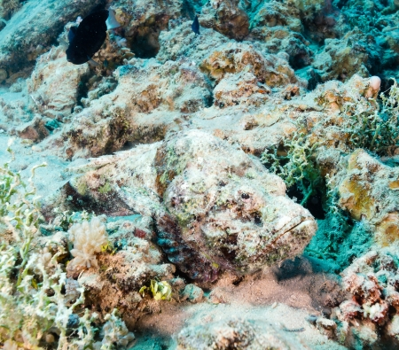 A Scorpion fish hides on the seabed awaiting its next meal Stock Photo - 16942117