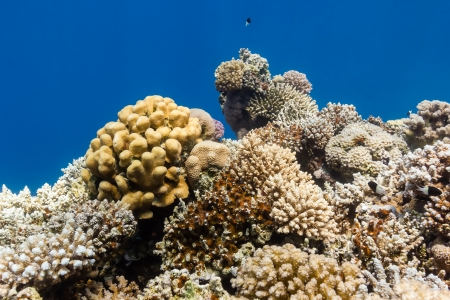 Hard corals on a tropical coral reef photo