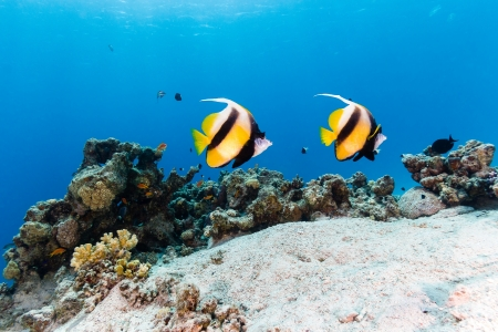 Bannerfish swim over a tropical coral reef Stok Fotoğraf