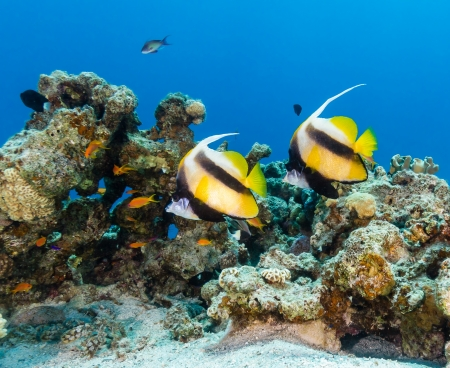 bannerfish: Bannerfish swim over a tropical coral reef Stock Photo