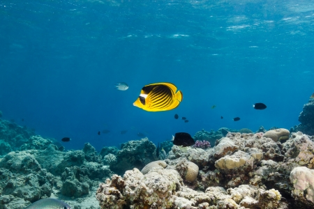 Masked butterfly fish swim along a coral lagoon