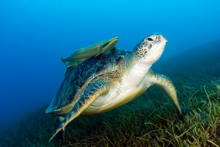 A Green Sea Turtle with remora on its shell sitting on seagrass Stock Photo