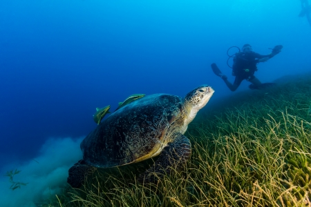 Green sea turtle over seagrass with a scuba diver in the background on a dark afternoon