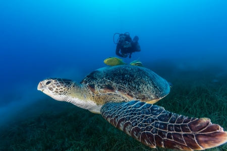 Green sea turtle swimming over seagrass with a SCUBA diver in the background Stock Photo