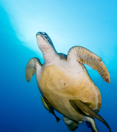 Underside of a sea turtle with remora as it swims towards the surface to breathe