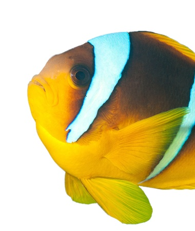 ocellaris clownfish: Clownfish on a white background