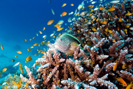 Grouper rests on hard coral surrounded by tropical fish Stock Photo - 16942098