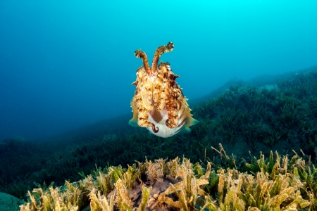 Hooded Cuttlefish swimming over seagrass Stock Photo - 16942081