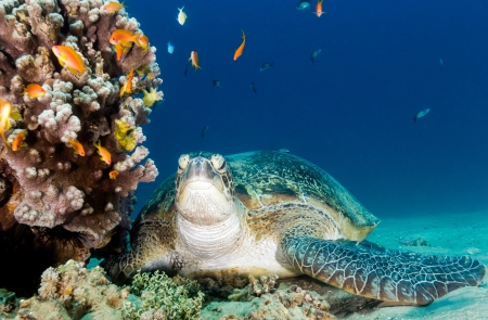 Green Sea turtle rests on the bottom next to a coral pinnacle