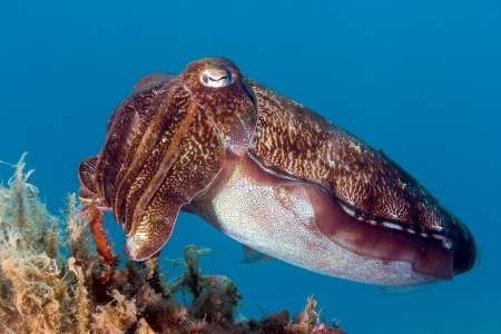A Hooded Cuttlefish on a coral reef
