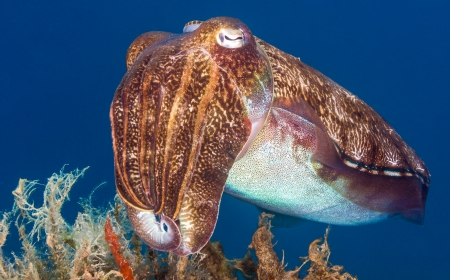 investigates: Hooded Cuttlefish investigates nearby marine plants Stock Photo