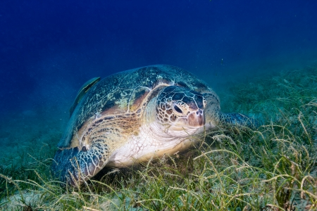 chelonia: A green turtle in a cloud of silt as it feeds on seagrass