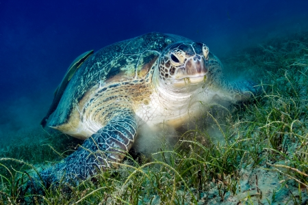 Green Sea turtle with attached Remora messily eats seagrass