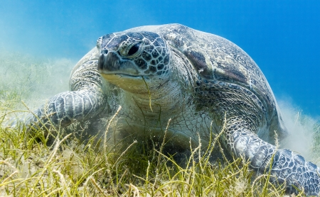 chelonia: Green Turtle eating sea grass kicking up a cloud of silt