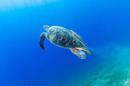 silt: Green turtle with remora leaves a cloud of silt behind as it swims towards the surface to breathe