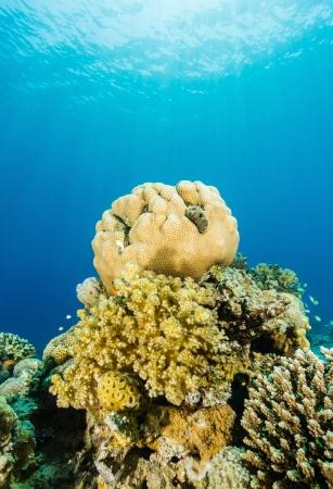 hardcoral: Brain and hard corals illuminated by sunlight Stock Photo